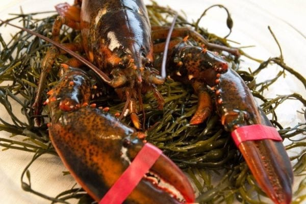 Extra Large - 3 lb Maine Lobsters Pack of 5