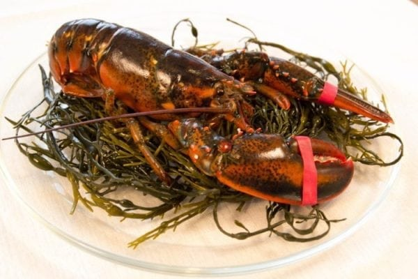 1 and 1/2 lb Maine Lobsters Pack of 6