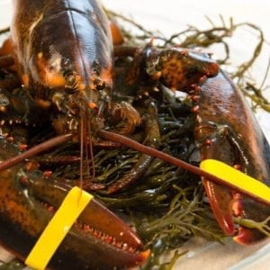 1 and 1/2 lb Maine Lobsters Pack of 8