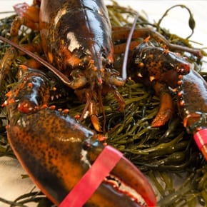 Live Maine Lobster for Sale