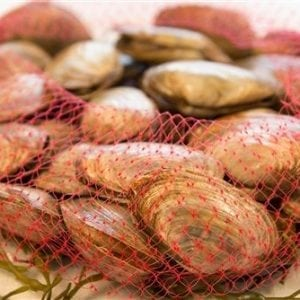 LIVE MAINE STEAMER CLAMS