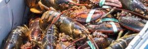 Hard Shell vs. Soft Shell Lobsters